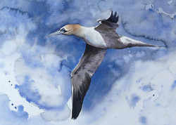 gannet I 14 38 x 20cm