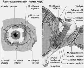 Muskeln am Auge