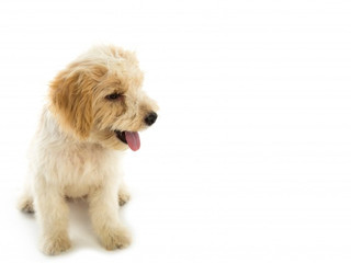 puppy-dog-isolated-white-background_1232