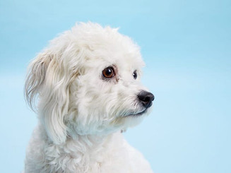 what-to-do-for-dog-hair-loss-white-dog.j