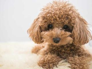 Toy-Poodle-1024x555.jpg