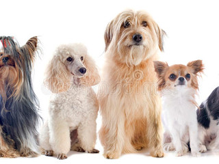 six-little-dogs-front-white-background-3