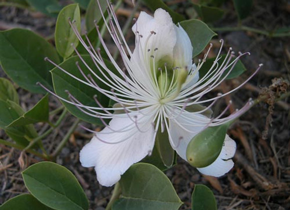 Caucasian caper(Capparis herbacea)