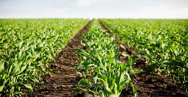 Plantação Milho.jpg