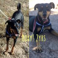 I am Roxy - 2yrs - Doberman X