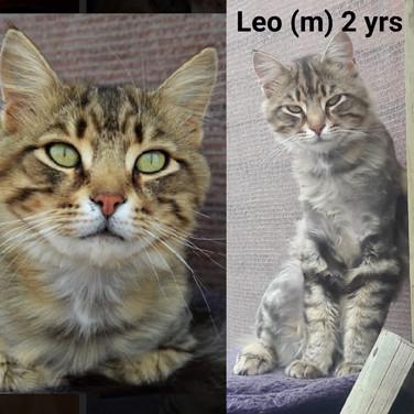 I am Leo! Tabby Longhair