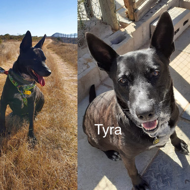 I am Tyra! Pick me! Labrador X I have been here too long!