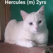 I am Hercules! White
