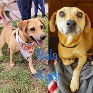 I am Nala! Labrador X The sweetest little girl ever!