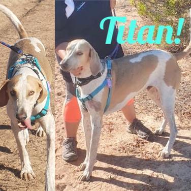 I am Titan! 3yrs Great Dane X Fox Hound