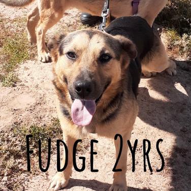 I am Fudge! 2yrs German Shepherd X