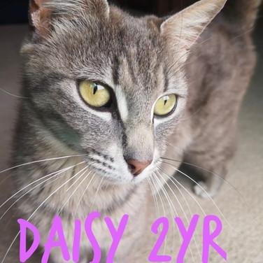 Daisy (Grey silver tabby)