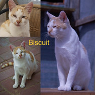 I am Biscuit! Ginger & white