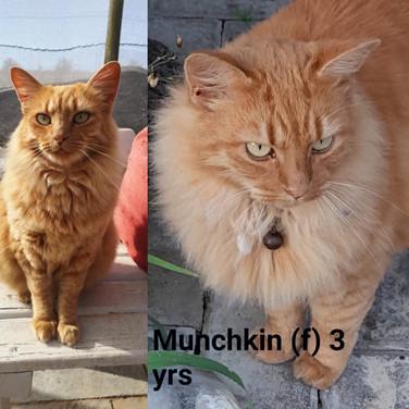 I am Munchkin!  4yrs Ginger Maine Coon