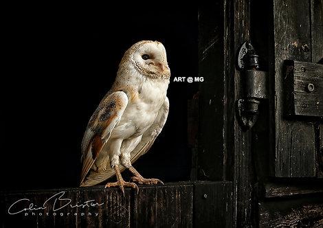 Barn Owl Resting