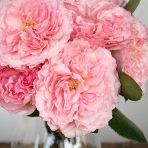 Queen Mayra Garden Roses