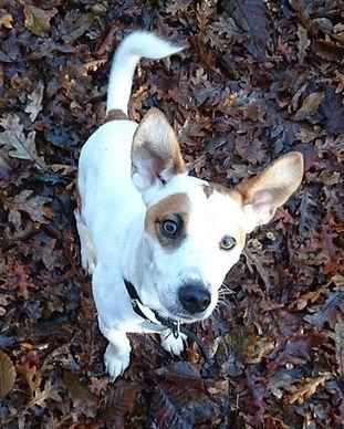 dog, jack russel, dog training