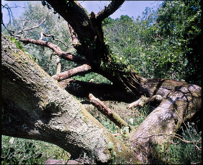 Staunton tree-1-2.jpg