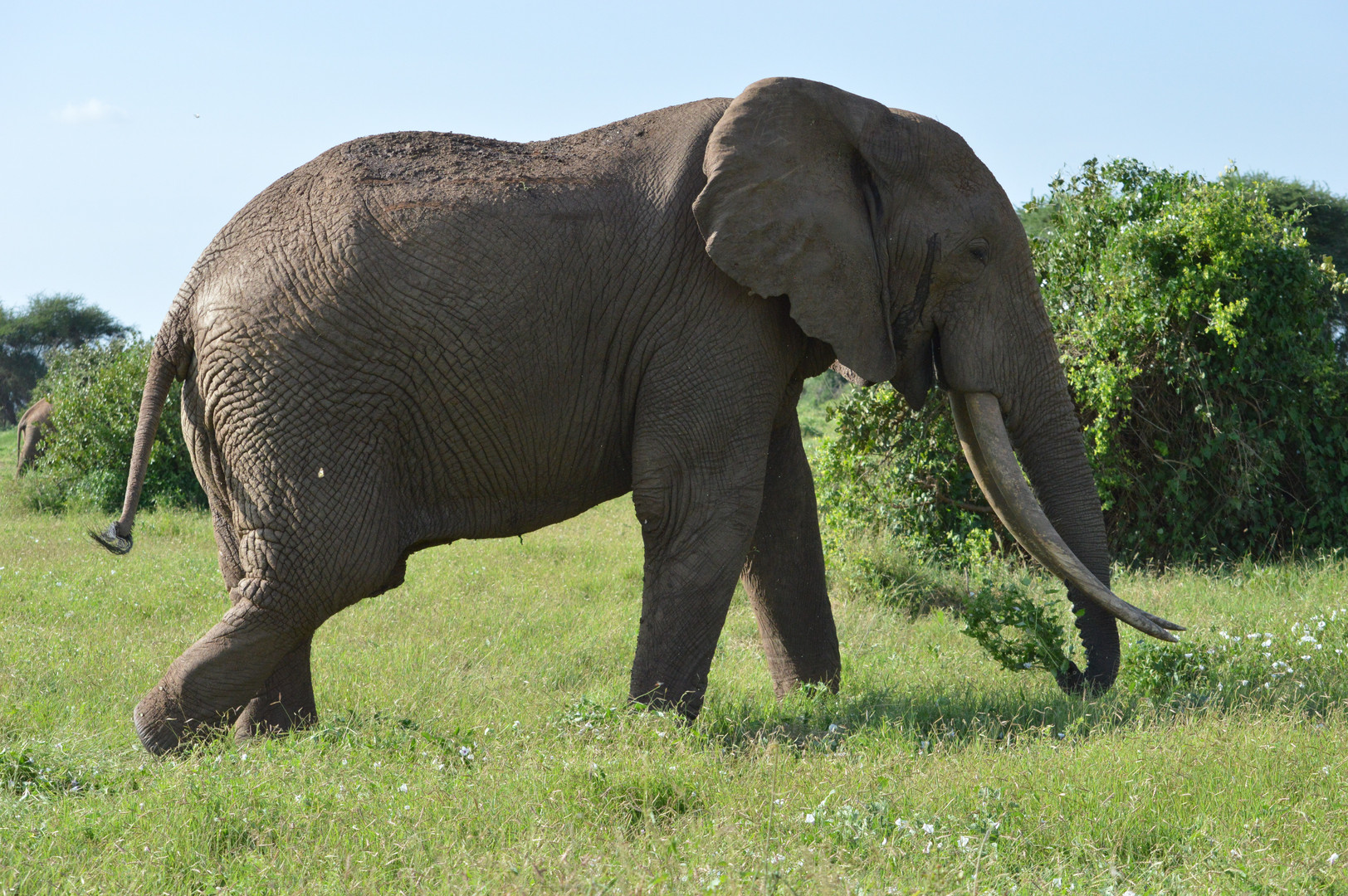 Elephant in the Tsavo