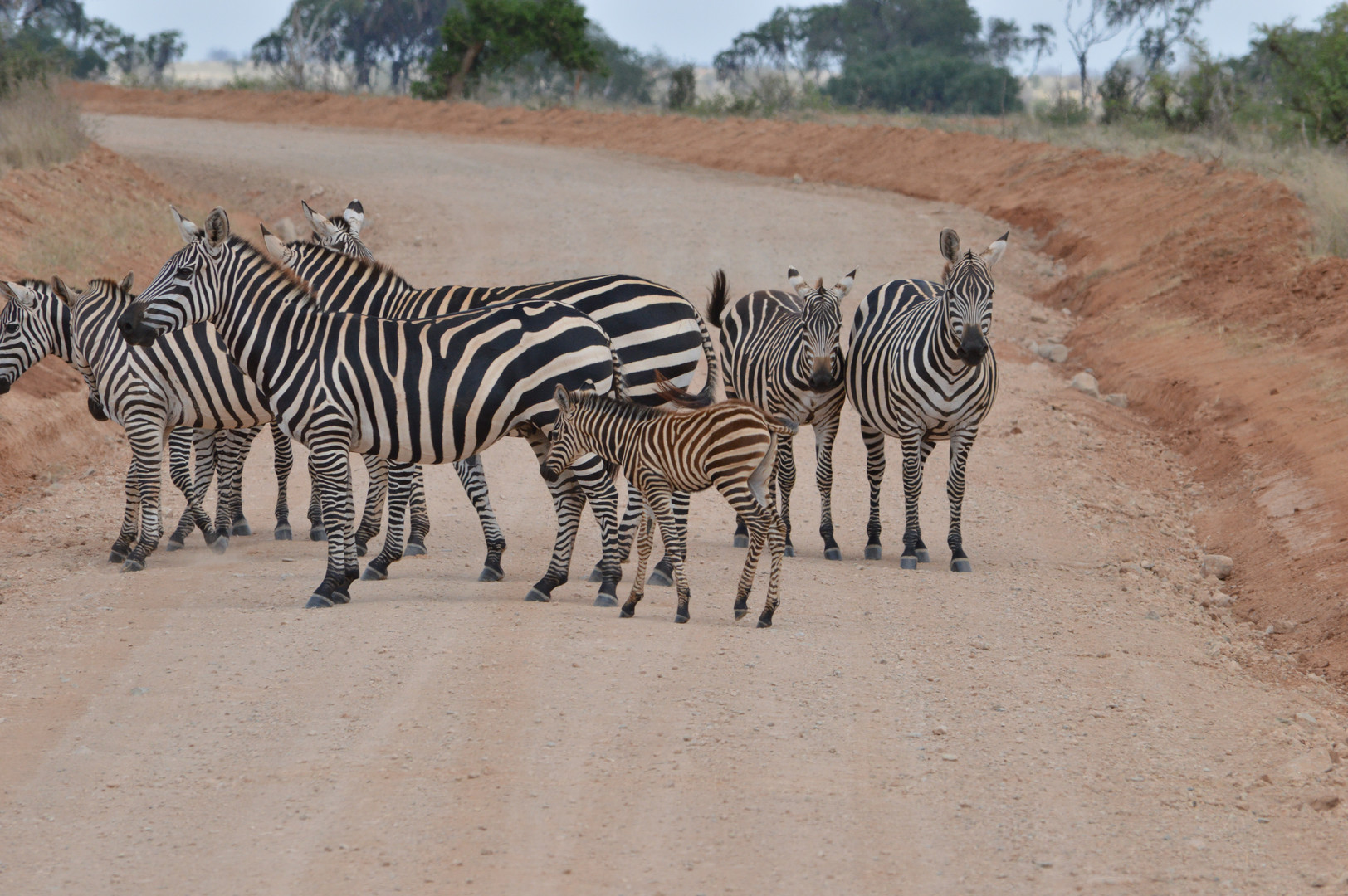 Zebras in the Tsavo