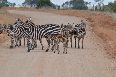 Zebras in the Tsavo