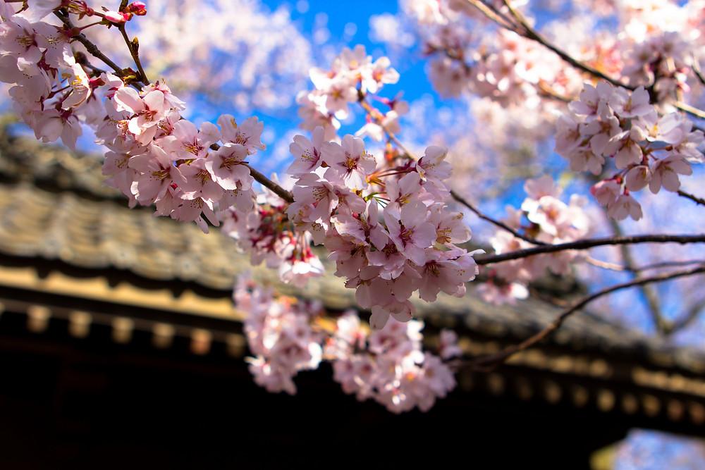 Сакура в Нагано. Фото Daisuke Tashiro, Flickr.