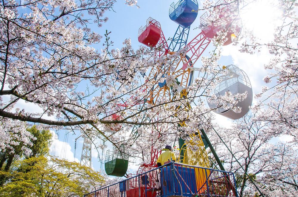 Сакура в парке. Фото Cotaro70s, Flickr.