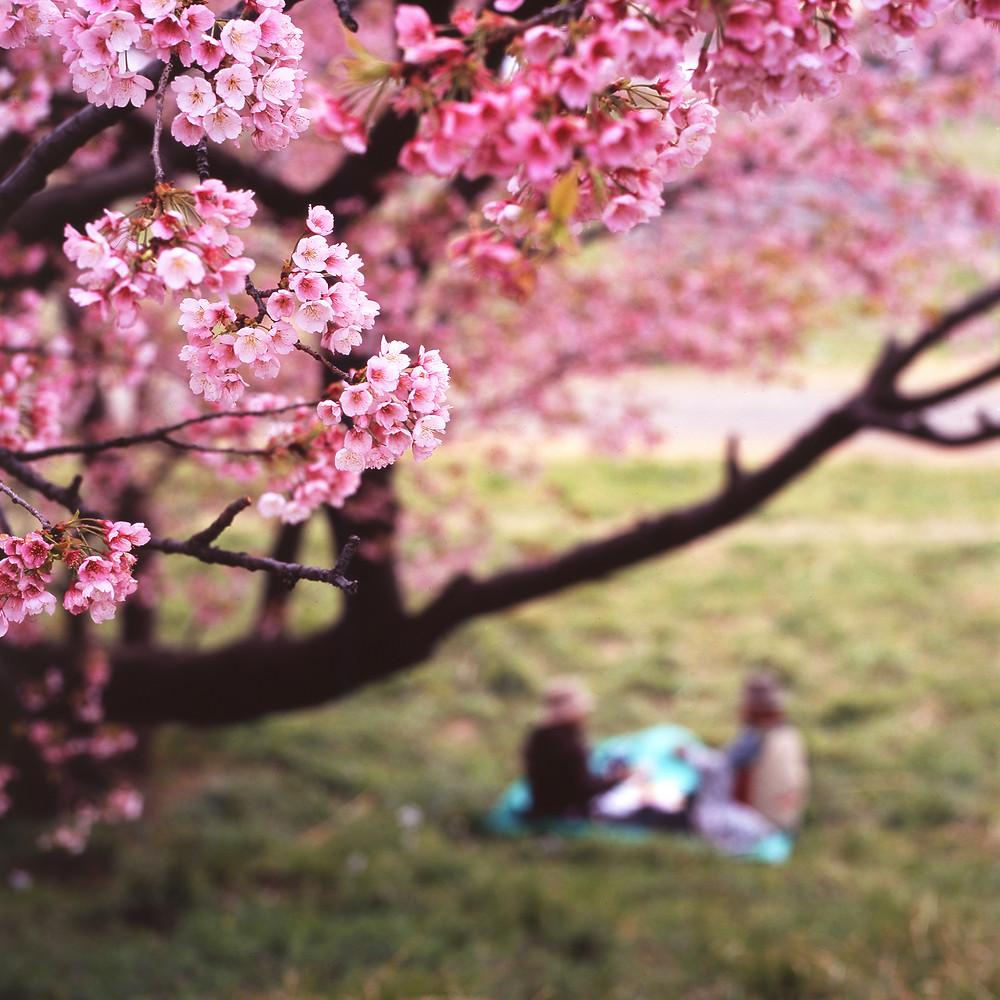 Ханами. Фото Mrhayata, Flickr.