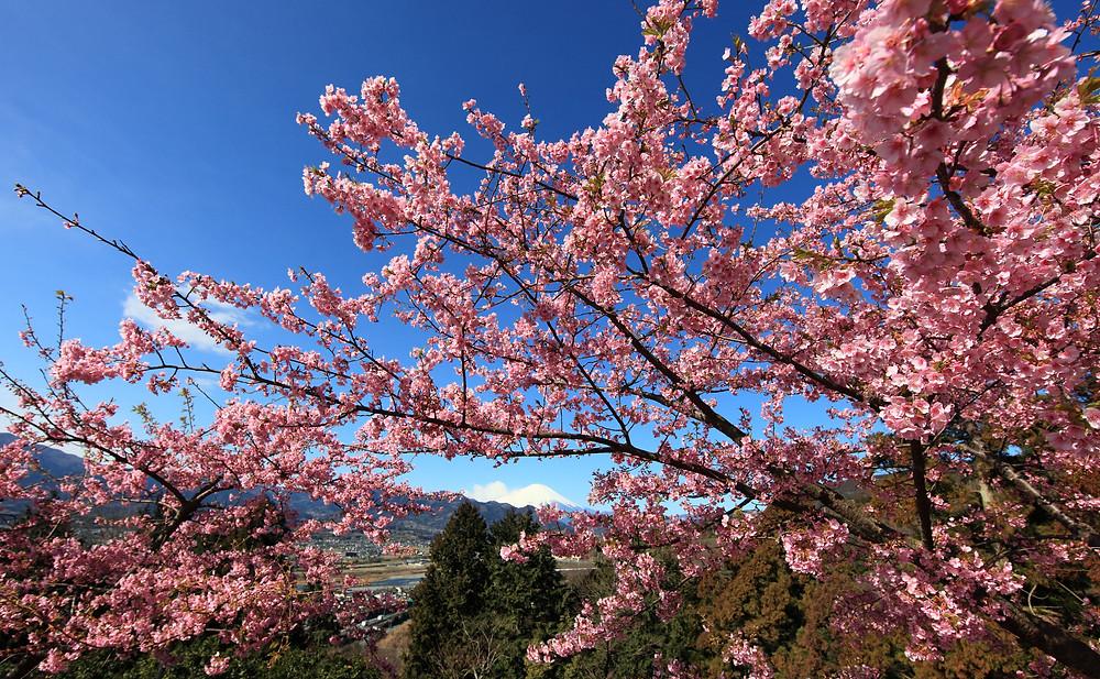 Сакура рядом с горой Фуджи. Фото TANAKA Juuyoh (田中十洋), Flickr.