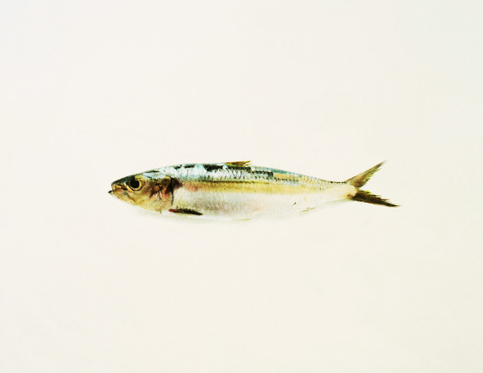 Sardine III.jpg