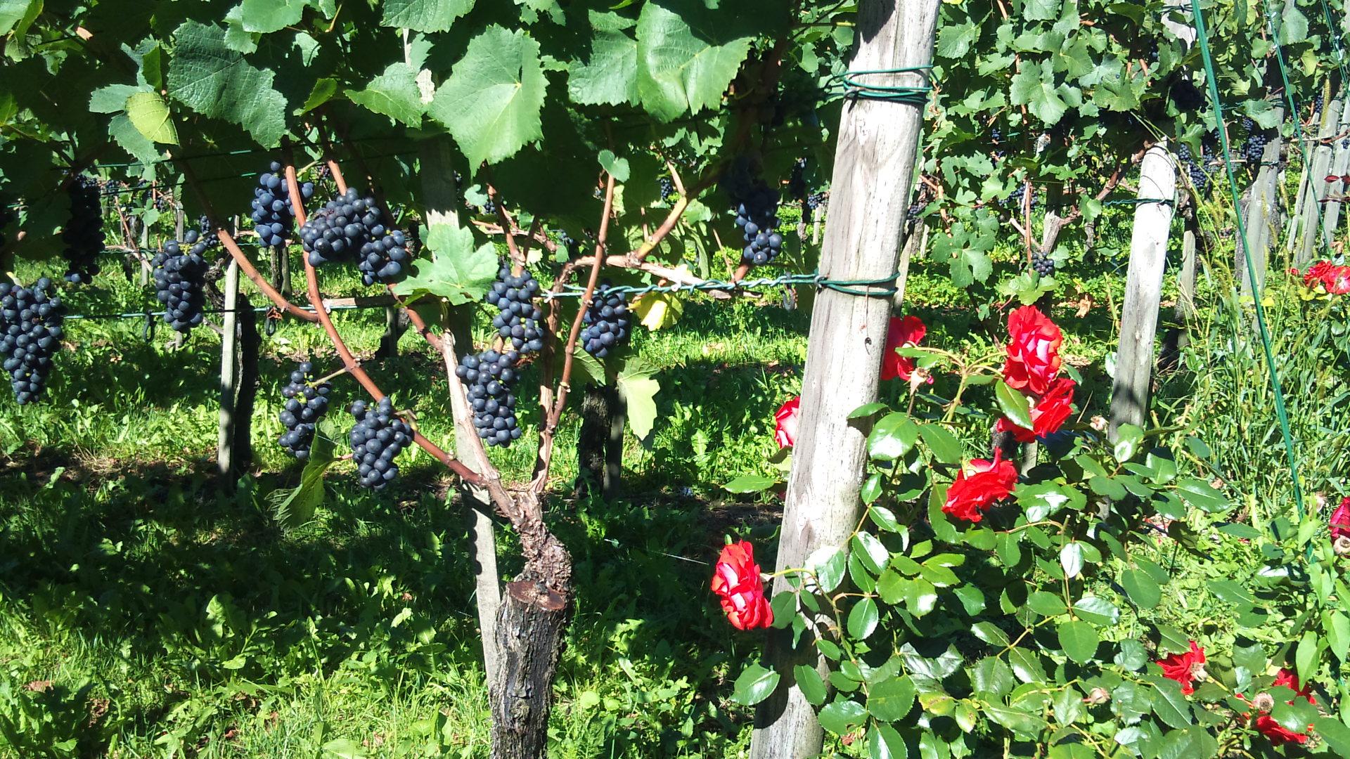Виноградники Вадуц