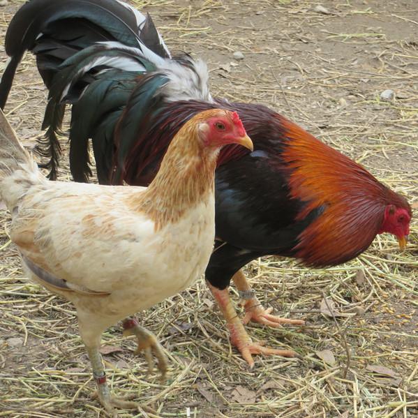 235 - Kelso Cock Hatch Hen