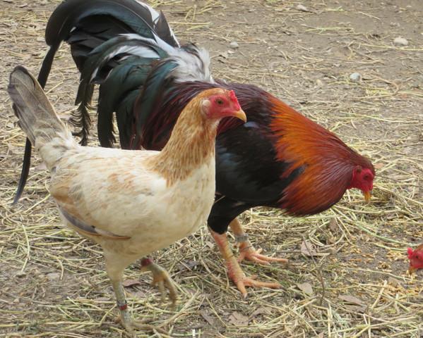 820 - Kelso Cock Hatch Hen