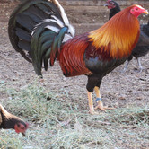 843 - Sweater Cock And Brown Red Hens