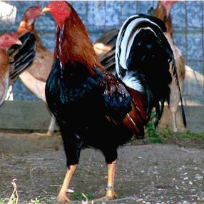 250 - Kelso Cock-Hatch Hen