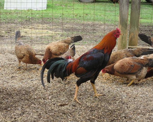 834 - Asil Stag Asil Hens