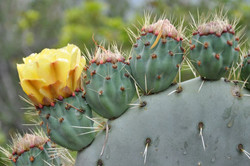 Fleur de cactus raquette