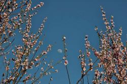Pêché en fleur sous le clair de lune