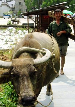 Farmer and ox, Wuyuan, China