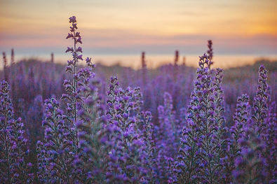 Vipers Bugloss Wild Photographic Prints by Regenweibchen