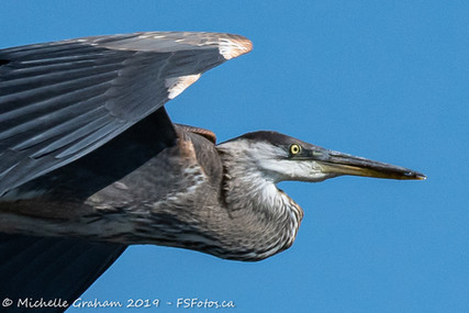 Great Blue Heron - French River