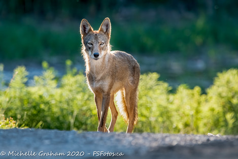 2020_07_05 - KitchenerCoyote-web-2.jpg