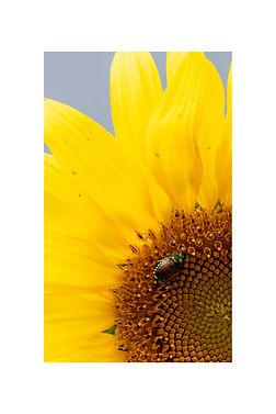 12x18 - SunflowerJunebug.jpg