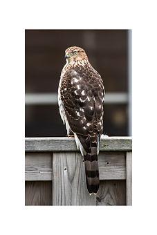 12x18 - Coopers Hawk.jpg