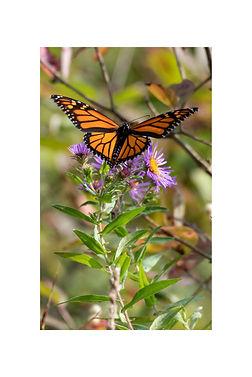 12x18 - Monarch.jpg