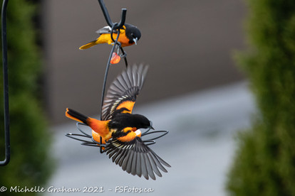 2021_05_06-BackyardOrioles-web-.jpg