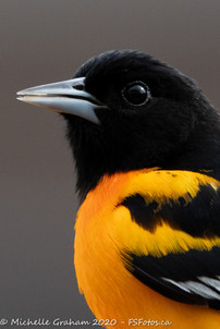 2020_05_15-backyardoriole-web-7686.jpg