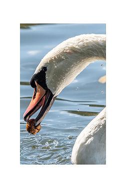 12x18 - Swan.jpg