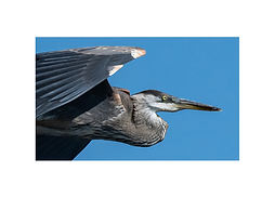 7x5 - flying heron closeup.jpg