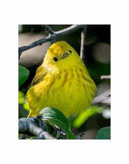 YellowWarbler11x14print.jpg